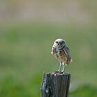 Burrowing Owl by Gary Lengyel