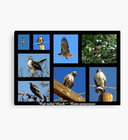 Red-tailed Hawk ~ Raptor Series Canvas Print