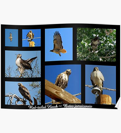Red-tailed Hawk ~ Raptor Series Poster