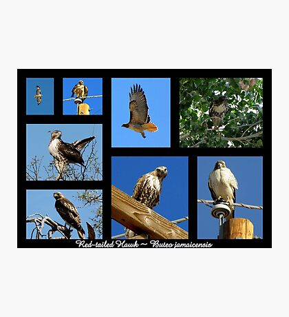Red-tailed Hawk ~ Raptor Series Photographic Print