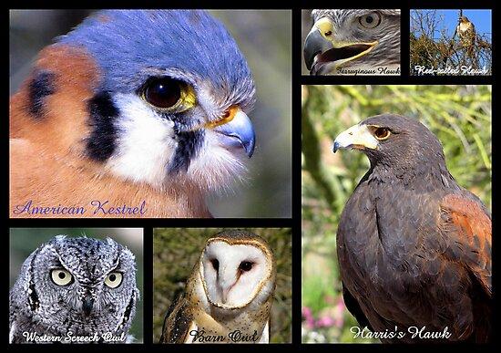 Birds Of Prey Poster by Kimberly Chadwick