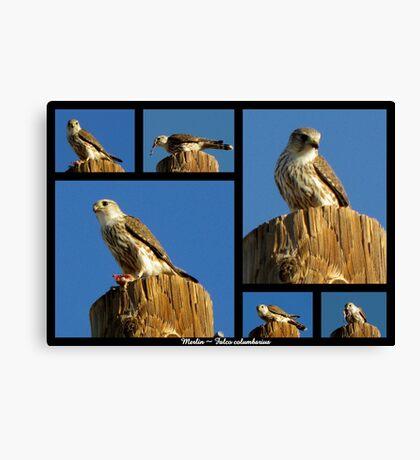 Merlin ~ Raptor Series Canvas Print