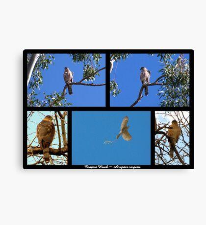 Coopers Hawk ~ Raptor Series Canvas Print