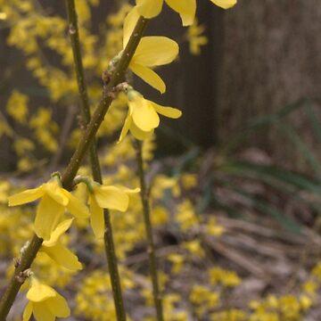 Spring Flowers in Virginia (4) by amreli