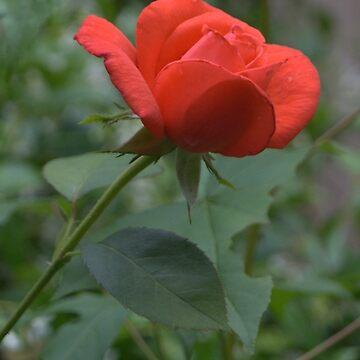 Rose bud after rain by amreli