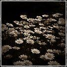 Daisies2 by Lorraine Seipel
