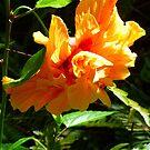 «Jardín de albaricoque hibisco mayo» de Virginia McGowan