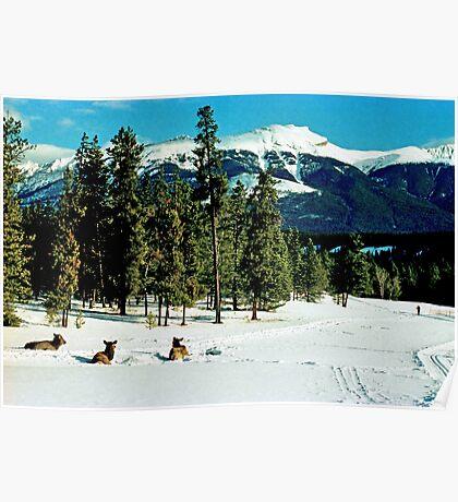 Skiing with the Elk, Jasper, Alberta, Canada Poster