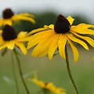 Unconventional Black-eyed Susans by agenttomcat