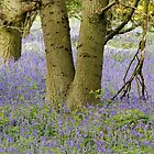 Bluebells and a Tree by dougie1