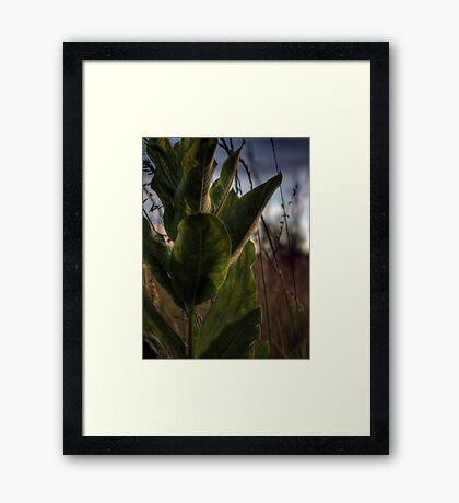 Backlit Milkweed Framed Print