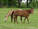 Horses Grazing 2 by Barberelli