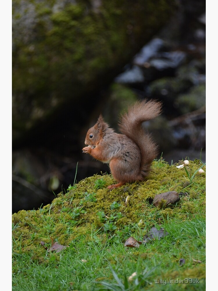 Red Squirrel by waylander99uk