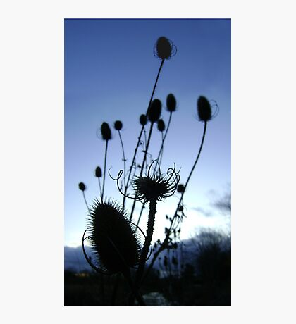 Teasels (Scottish streamside, November) Photographic Print
