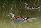 The Ringed Teal (Callonetta leucophrys) by David Carton