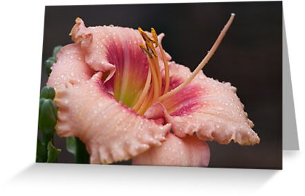 Rainy Day Lily by Ray Clarke