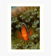 Anemonefish Art Print