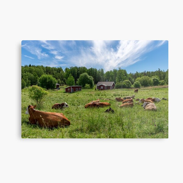 Cows are laying in the green grass in Pargas Finland Metal Print