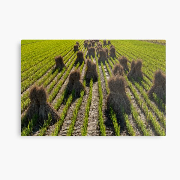 Rice crops are drying on the vibrant greenfield in Japan countryside  Metal Print