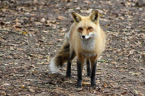 Sly Fox by Paulette1021