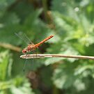 Large Red Dragon Fly by davesphotographics