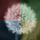 Dandelion 4 Square Colours by davesphotographics
