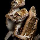 dwarf geckos mating by Scott Thompson