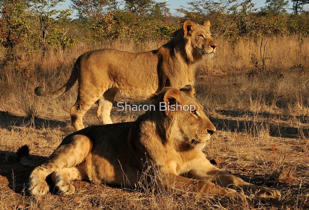 Walking With lions - Victoria Falls, Zimbabwe # 2 by Sharon Bishop