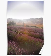 Lavender field, Provence Poster