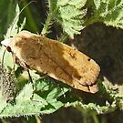 Unknown Brown moth by sarnia2