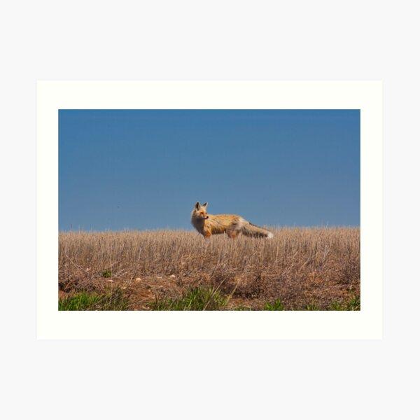 Prairie Fox Art Print