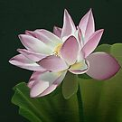 Lotus Flower in the Sun by Jarrod Hall Art