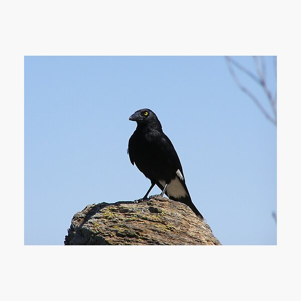 I DEMAND YOU SHARE YOUR LUNCH! Cheeky Currawong on 'The HighTops,'Warrumbungle Nat. Park. N.S.W.   Photographic Print