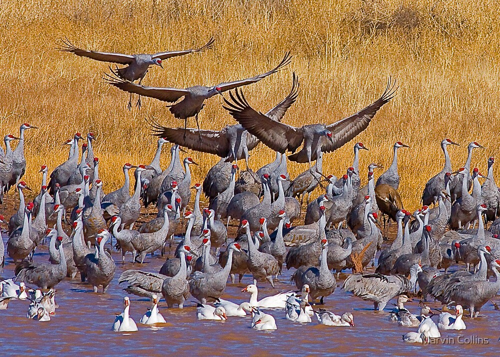 Sandhill Cranes & Snow Geese by Marvin Collins