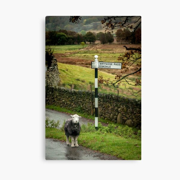 Lost Sheep, Lake District, England Canvas Print