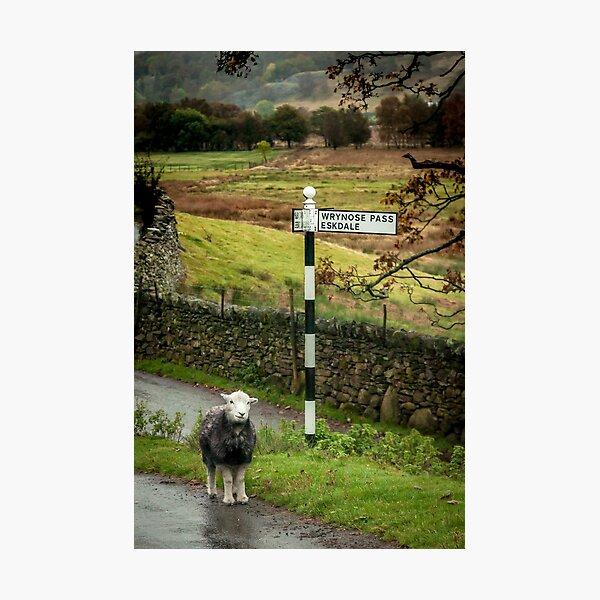 Lost Sheep, Lake District, England Photographic Print