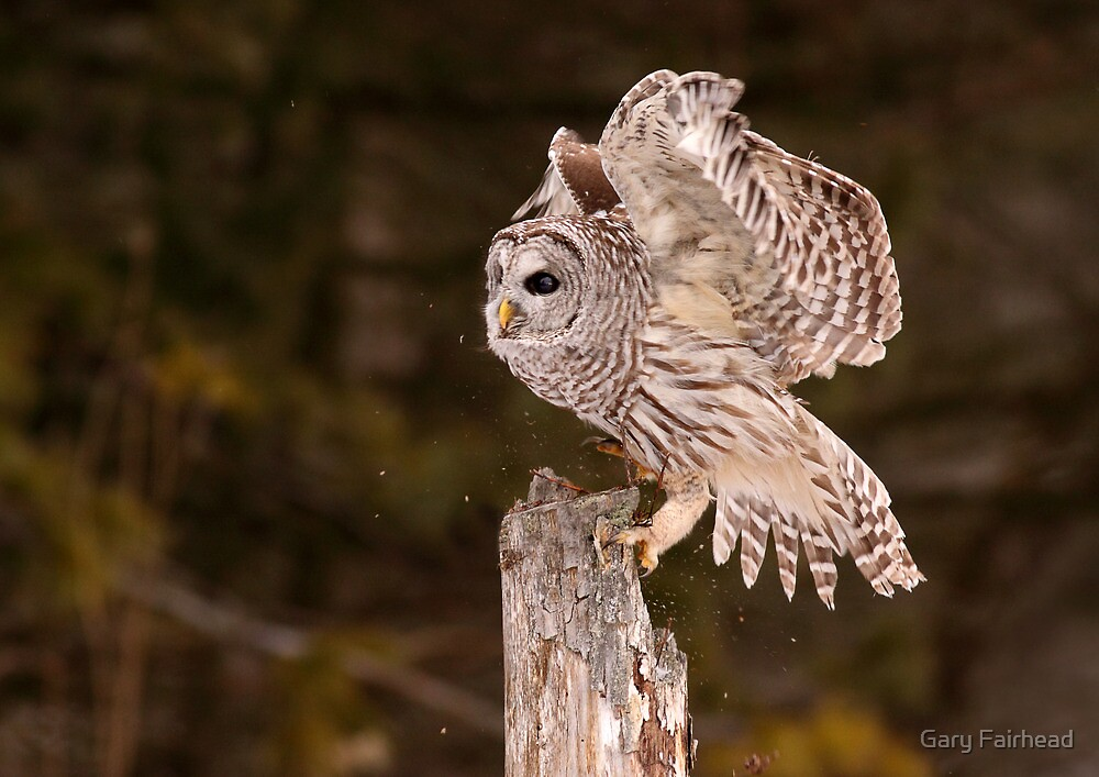 Scratch Landing / Barred Owl by Gary Fairhead