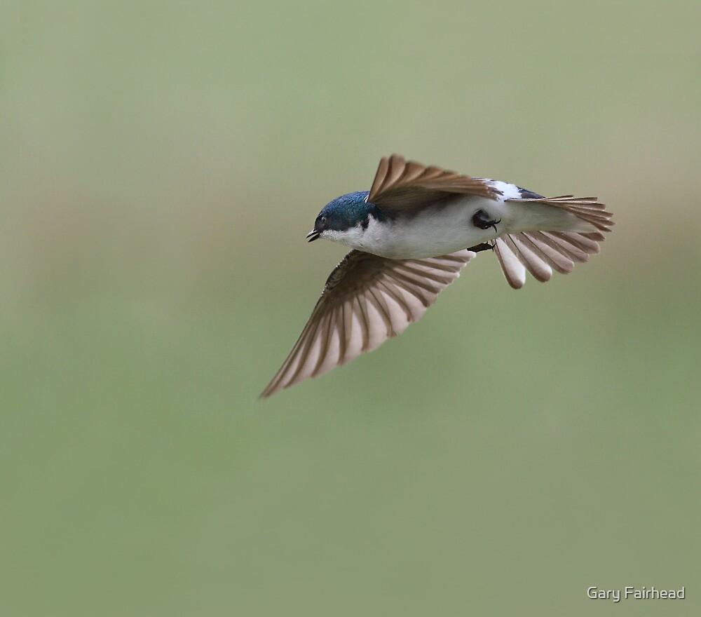 Tree Swallow In Flight Squared / Tree Swallow by Gary Fairhead