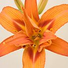 Day Lily by Brian Haslam