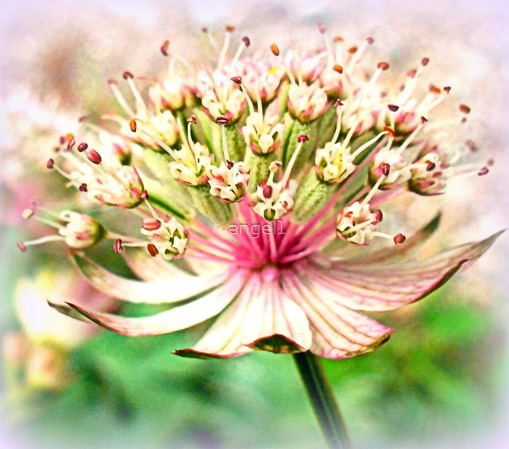 Astrantia major by ©The Creative  Minds