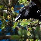 Conversation with a Young Raven by DJ LeMay