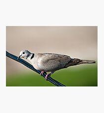 Ring neck dove Photographic Print