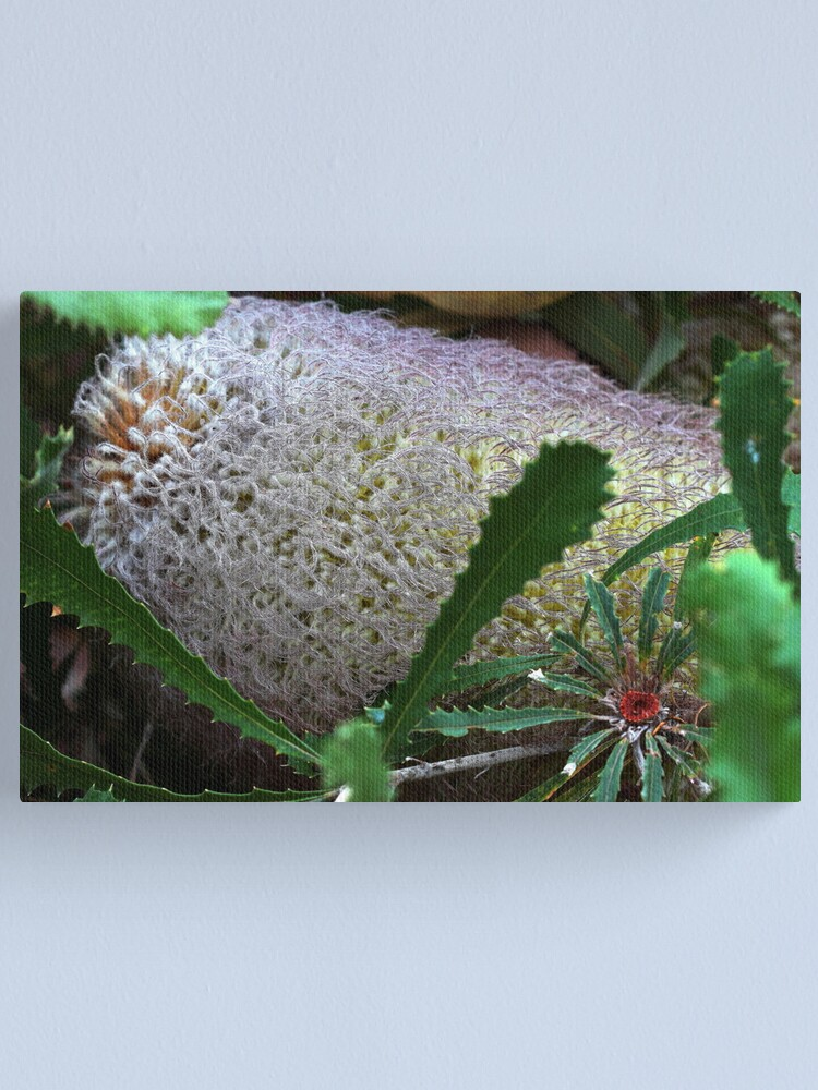 Alternate view of Banksia baueri  Canvas Print