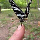 Zebra Swallowtail by NatureGreeting Cards ©ccwri