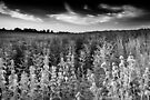 A Whole Hill of Beans BW by Andy Freer