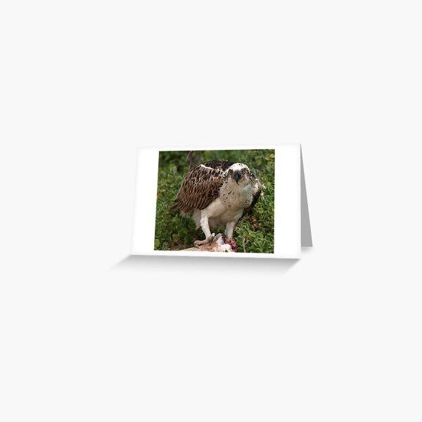 Osprey Greeting Card