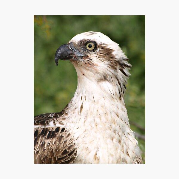 Osprey Side Profile Photographic Print