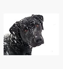 Black Lab Paying in the Snow Photographic Print