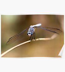 Gaze of the Blue Dasher Poster