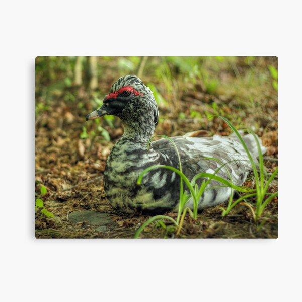 Who's a pretty duck? Canvas Print